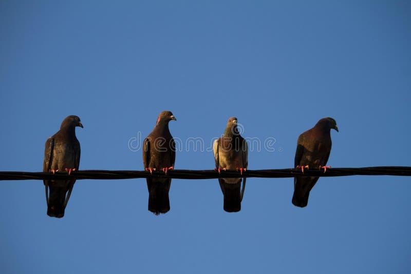 quatre pigeons sur un fil photographie stock libre de droits