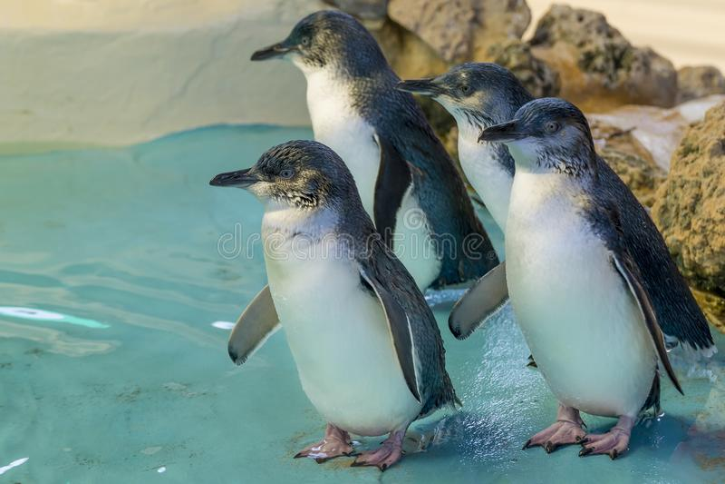 Quatre pingouins australiens ? l'?le de pingouin, Rockingham, Australie occidentale image stock