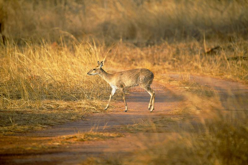 Quatre quadricornis à cornes d'antilope, de Tetracerus ou chousingha, Bandhavgarh Tiger Reserve image stock