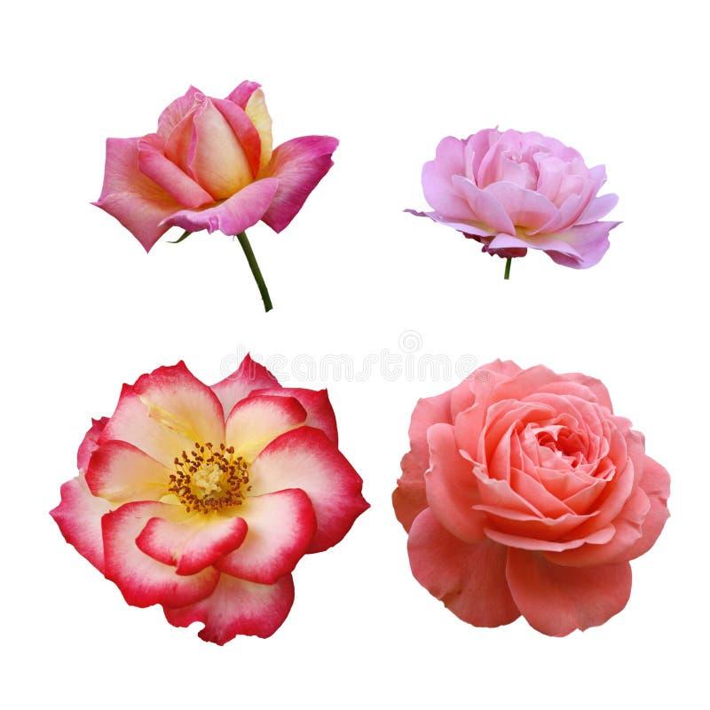 Quatre roses photo stock