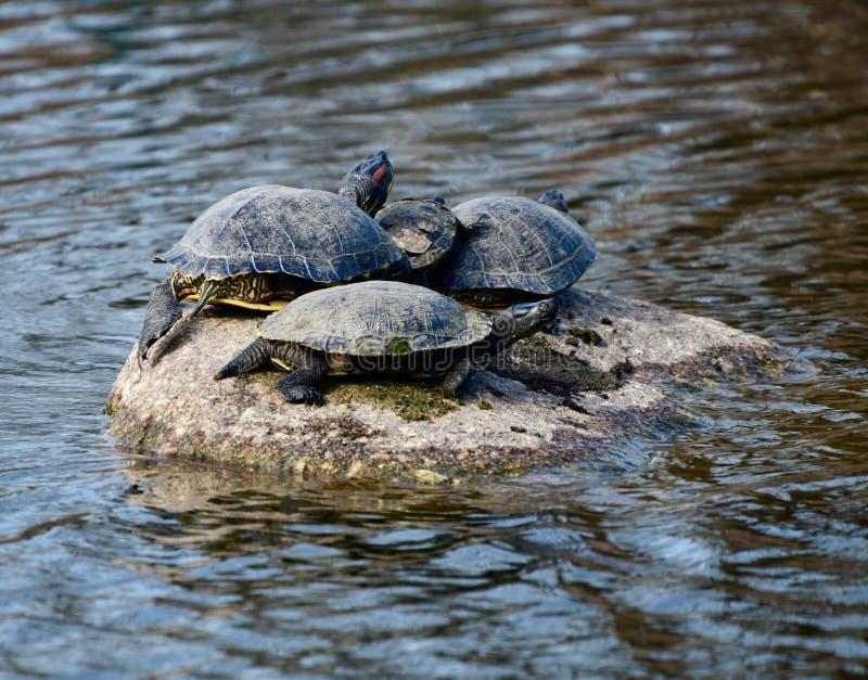 Quatre tortues peintes sur une roche photographie stock