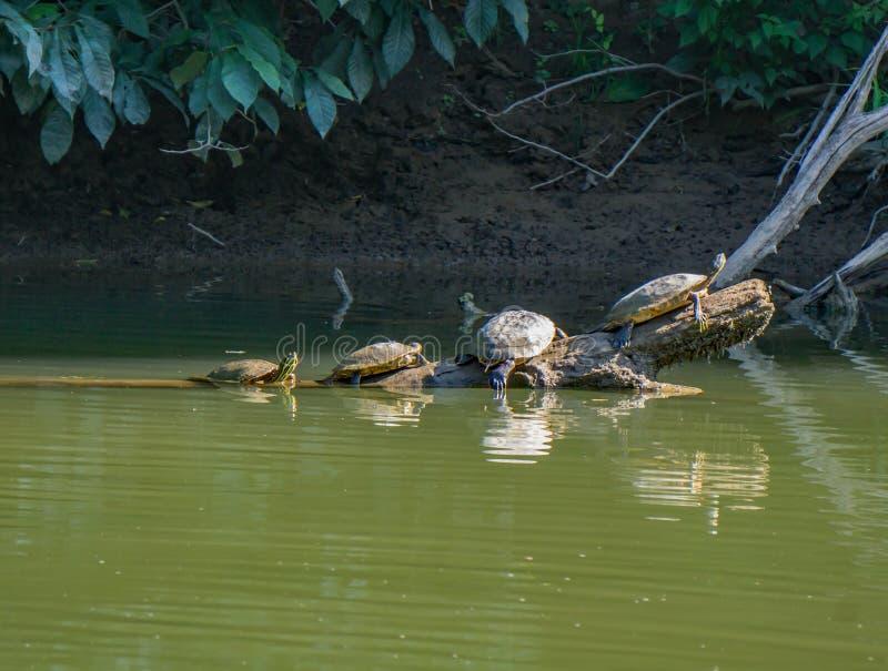 Quatre tortues se reposant sur un logarithme naturel photos stock