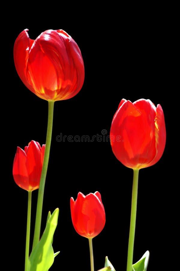Quatre tulipes photos stock