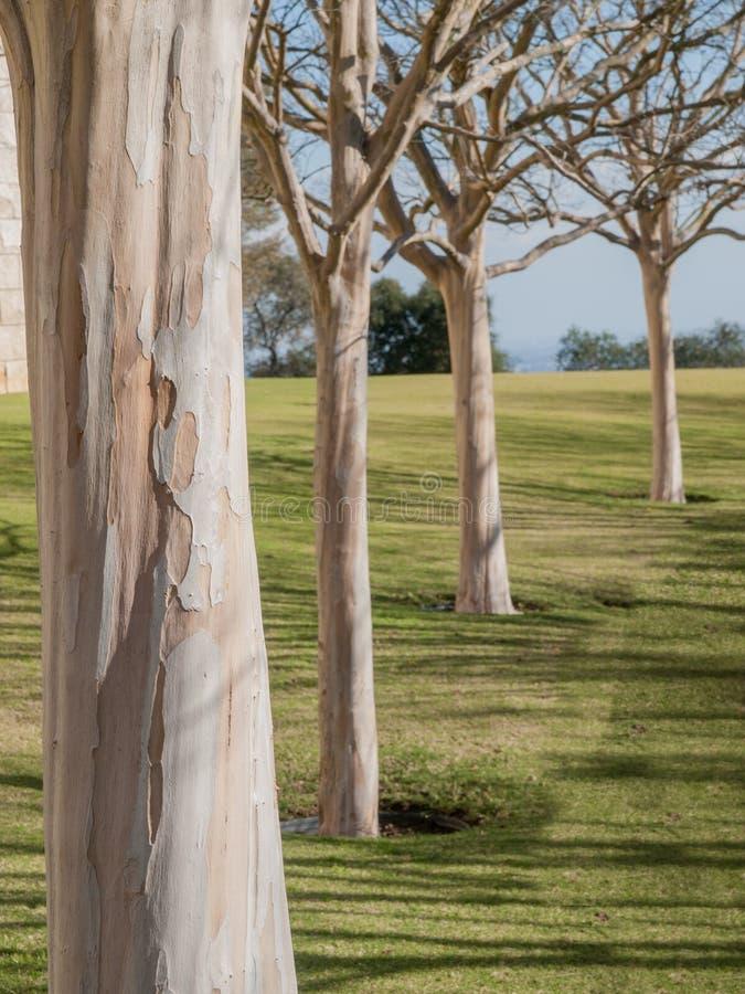 Quatro árvores brancas do sicômoro fotografia de stock