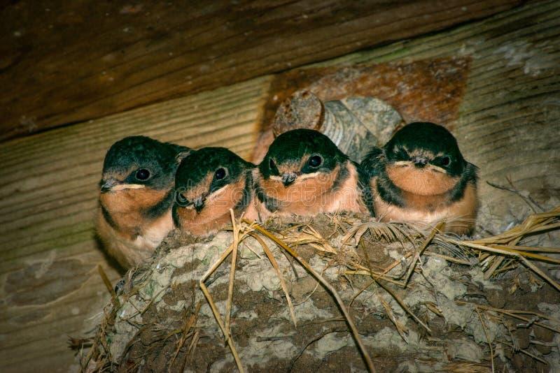 Quatro andorinhas de celeiro novas que sentam-se em um ninho da lama imagens de stock