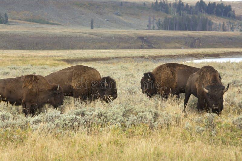 Quatro bisonte que pasta perto de Lamar River, Pa nacional de Yellowstone imagem de stock