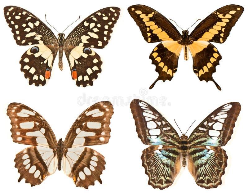 Quatro borboletas em um fundo branco foto de stock royalty free