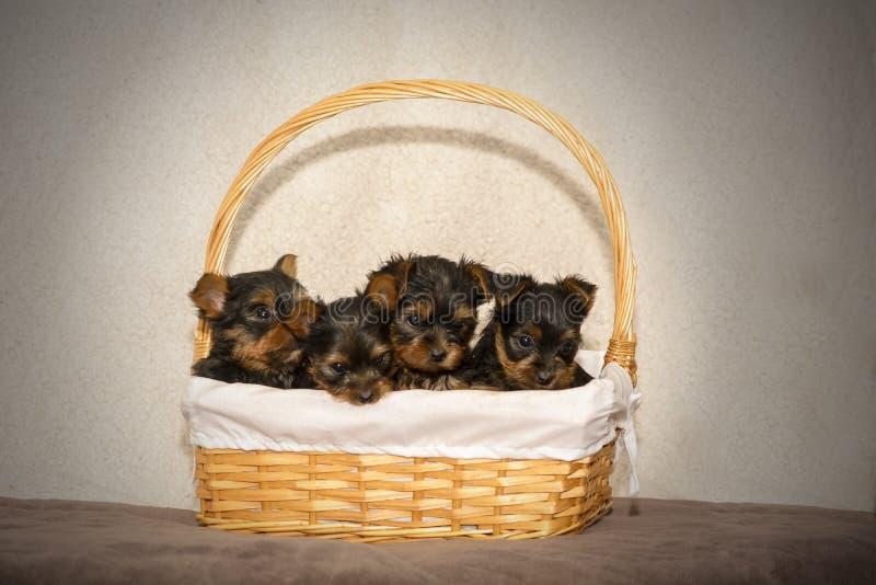 Quatro cachorrinhos do yorkshire terrier em uma cesta do wicket fotos de stock