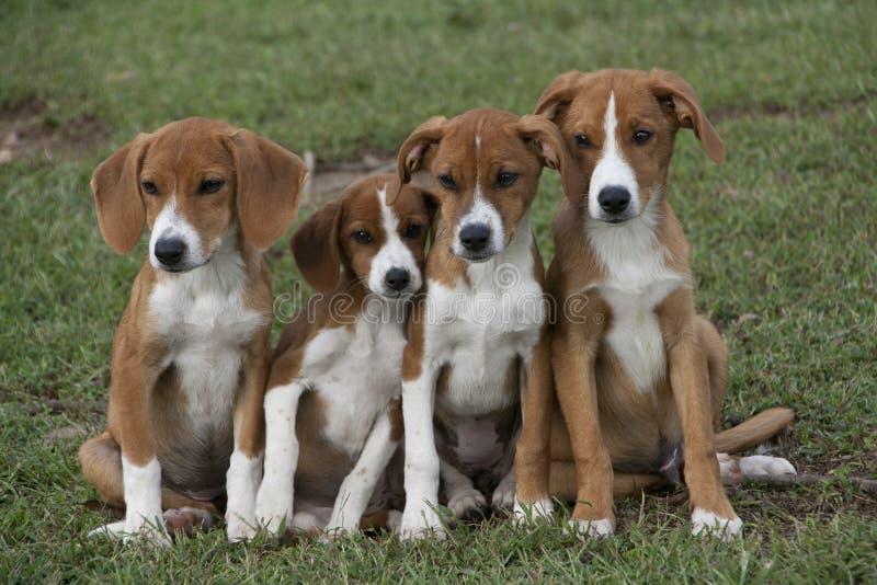 Quatro cachorrinhos marrons adoráveis afagados na grama verde fotos de stock