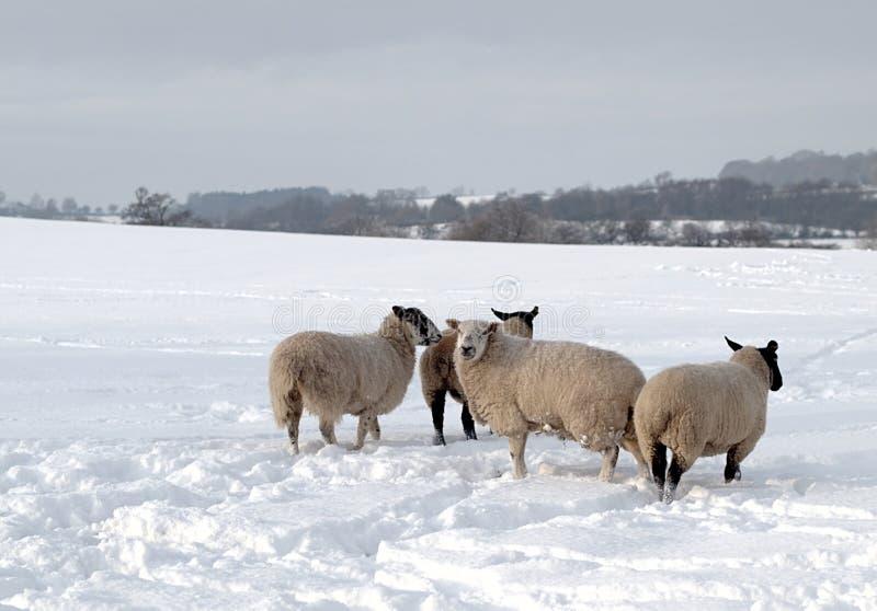 Quatro carneiros na neve imagem de stock royalty free