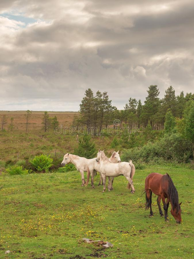 Quatro cavalos num pasto, três brancos e um marrom. Dia ensolarado quente, céu nublado, paisagem rural imagens de stock