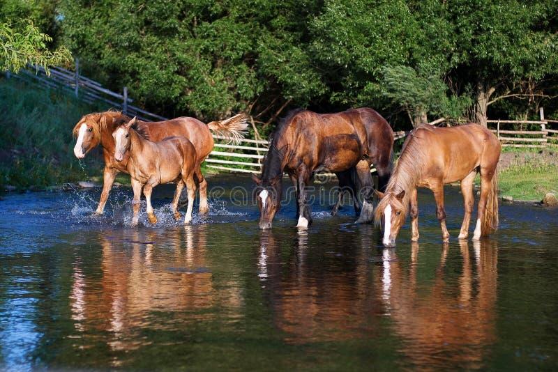 Quatro cavalos sedentos na água potável do lago imagem de stock