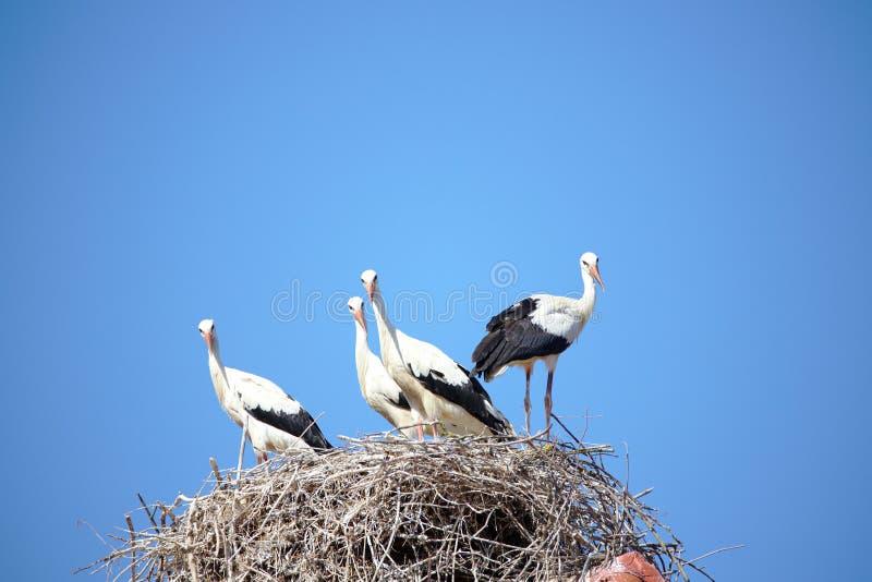 Quatro cegonhas no ninho, olhando à câmera imagens de stock royalty free