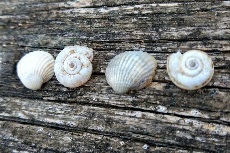 Quatro cockleshells brancos em um fundo de madeira velho fotos de stock