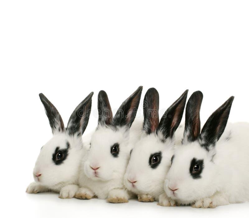Quatro coelhos bonitos foto de stock