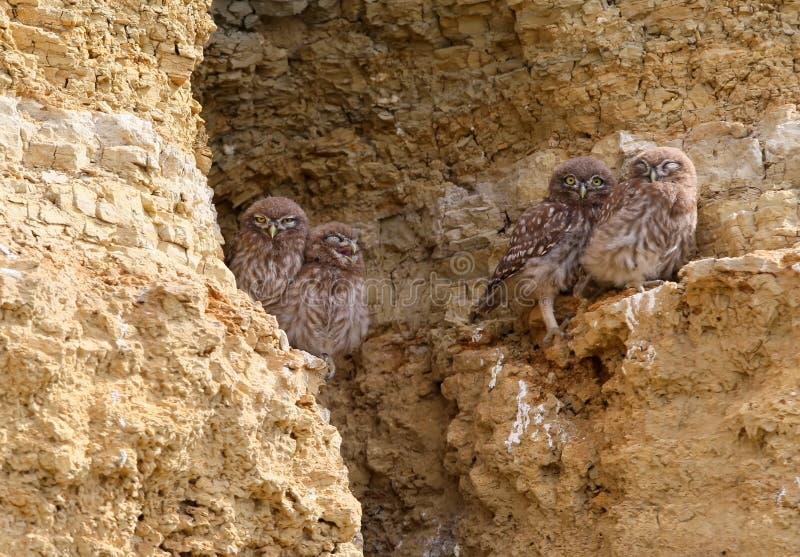 Quatro corujas pequenas novas sentam-se junto na rocha fotografia de stock