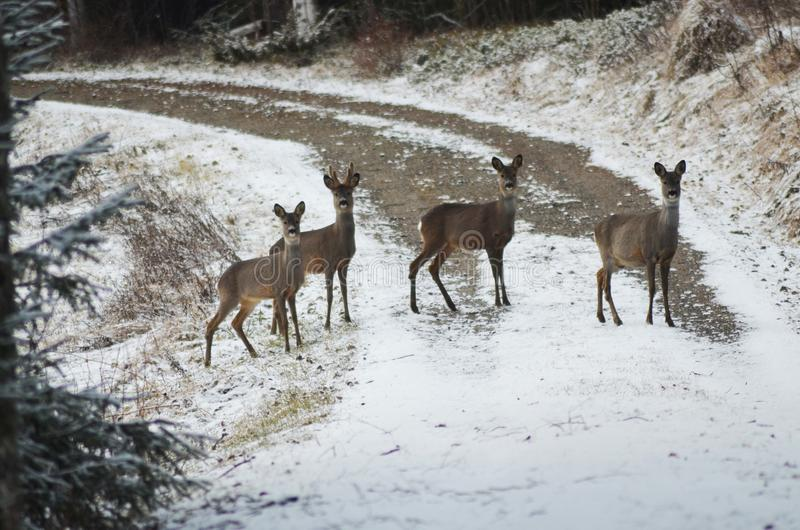 Quatro dears que cruzam a estrada foto de stock royalty free