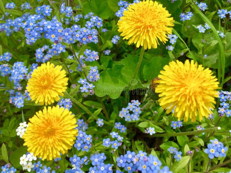 Quatro dentes-de-leão amarelos e miosótis verdadeiros azuis e brancos fotos de stock royalty free