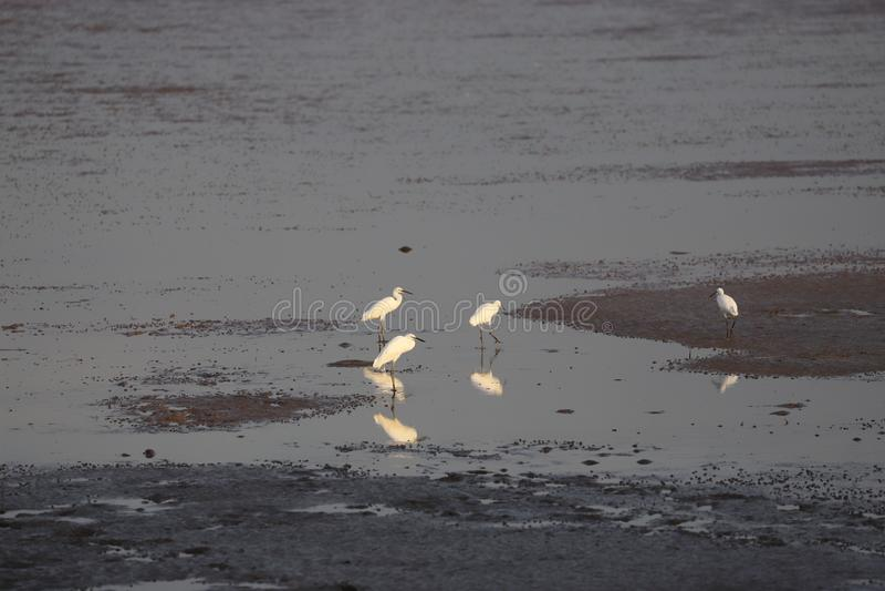Quatro Egrets durante o baixo tib no Bohai foto de stock