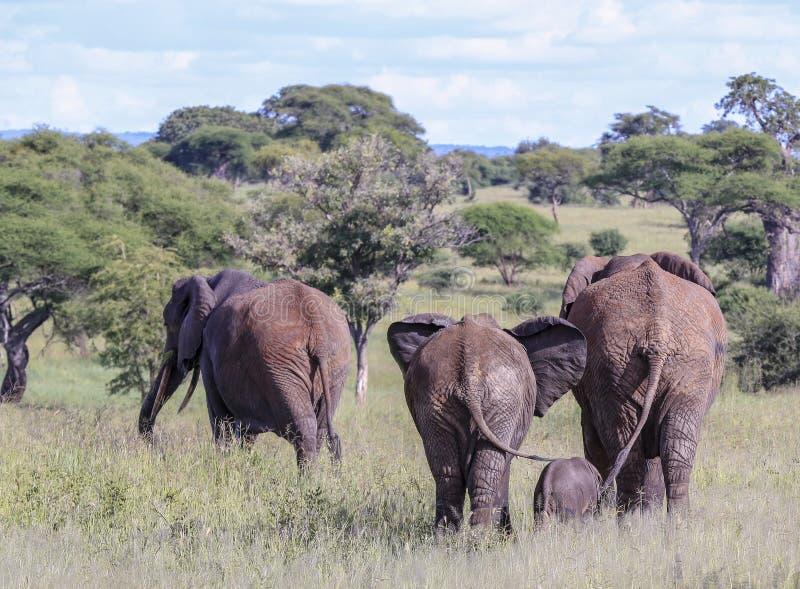 Quatro elefantes que andam afastado em um campo enchido grama imagens de stock royalty free