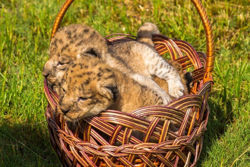 Quatro filhotes de leão muito pequenos são cansados imagem de stock