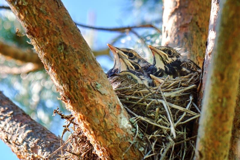 Quatro filhotes de passarinho crescidos de um tordo sentam-se em um ninho situado no pinheiro foto de stock royalty free