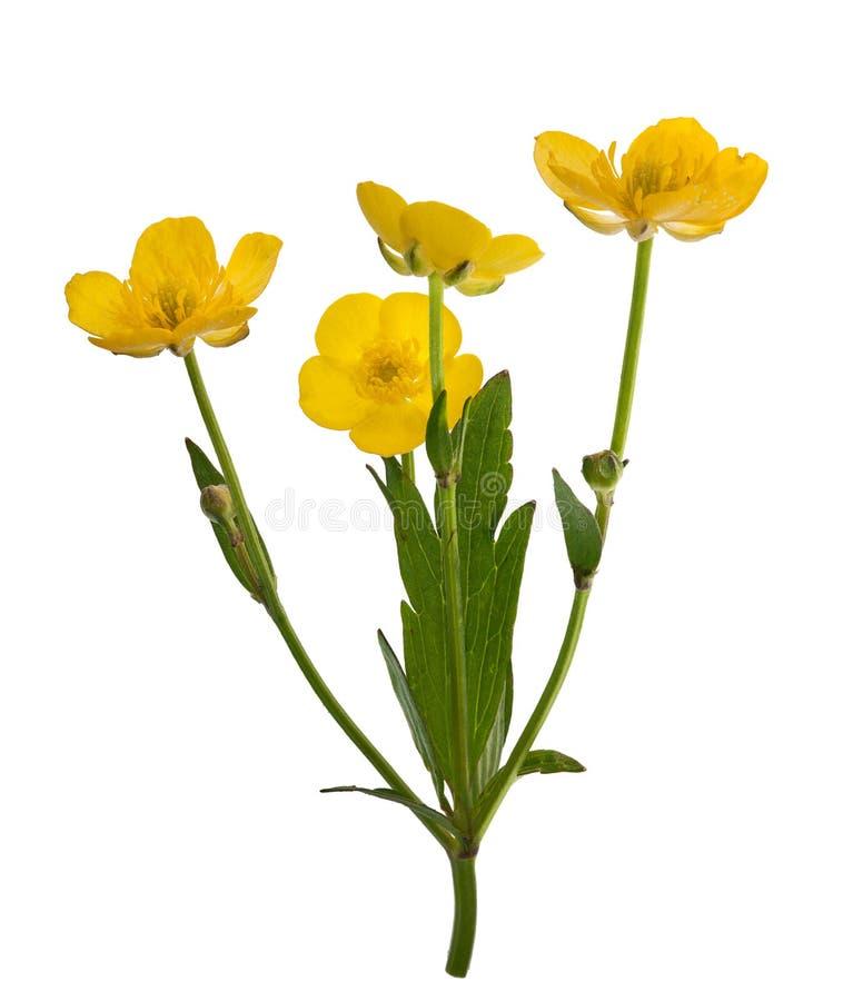 Quatro flores amarelas do botão de ouro fotos de stock