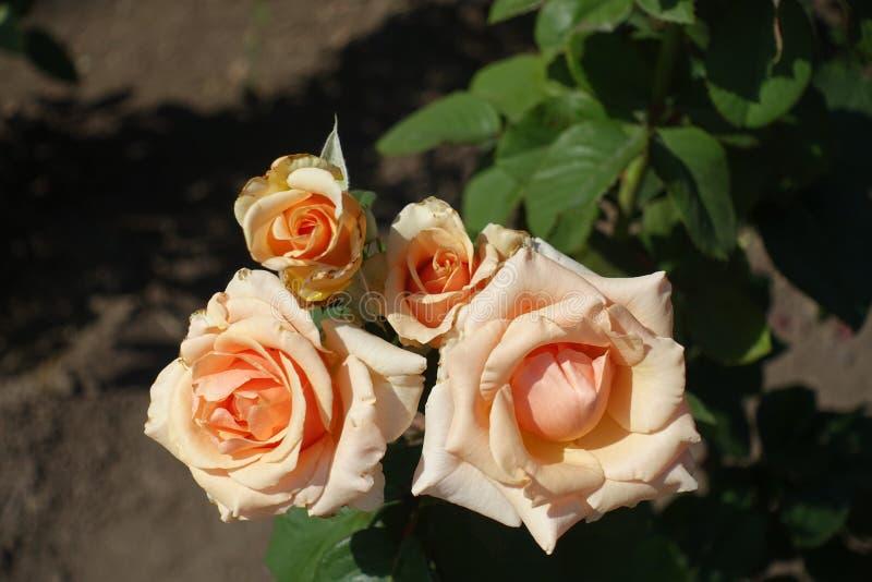 Quatro flores coloridas pasteis da rosa fotografia de stock