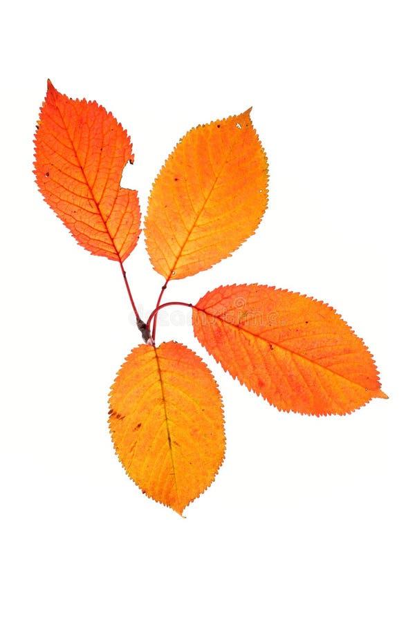 Quatro folhas de outono fotografia de stock royalty free