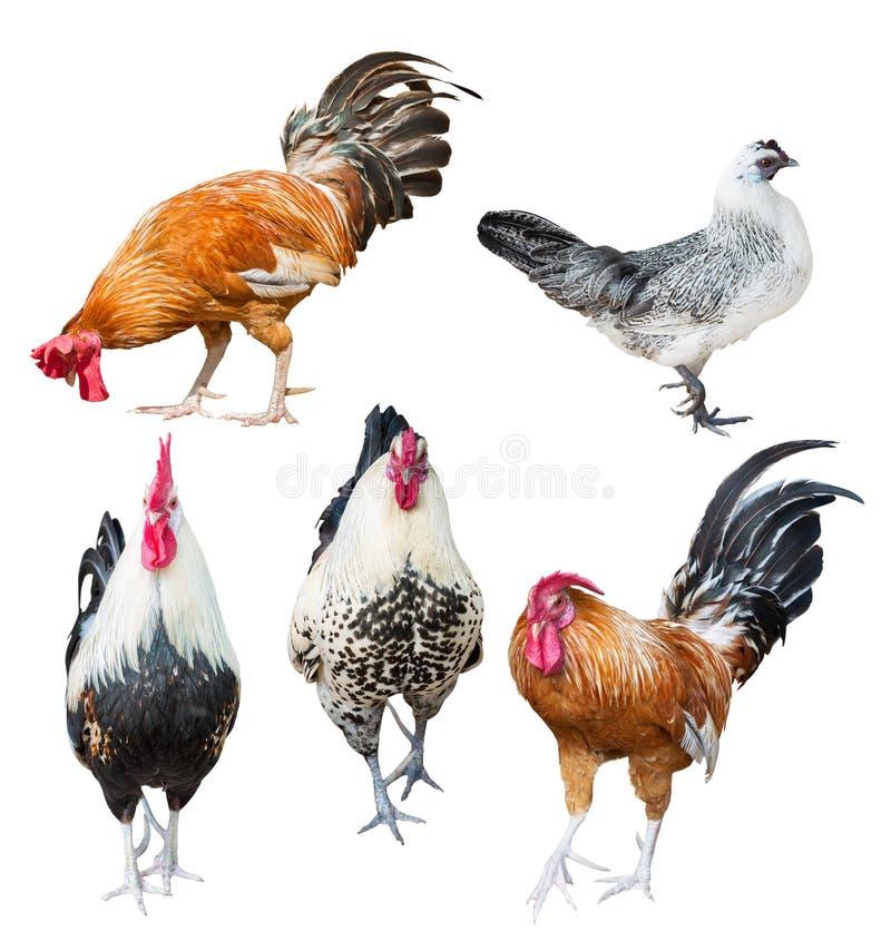 Quatro galos e uma galinha no branco imagem de stock royalty free