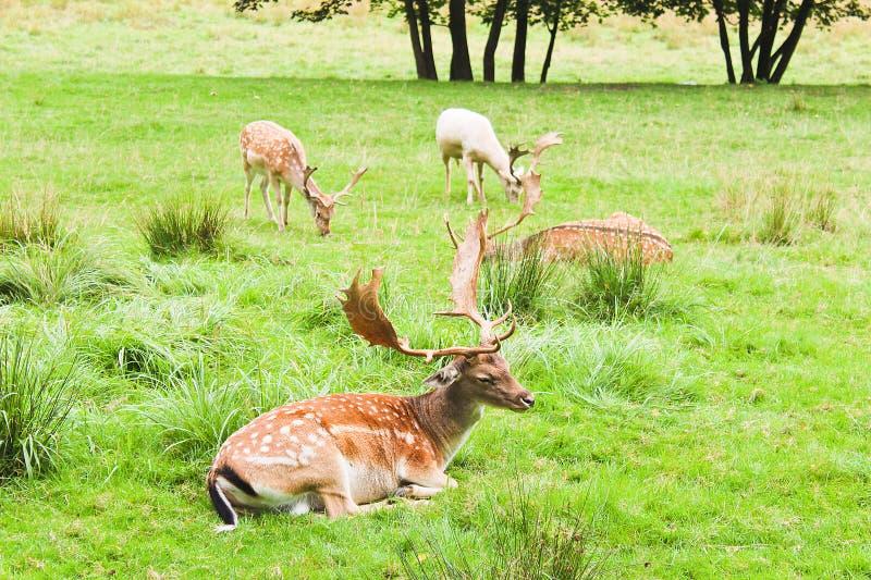 Quatro gamos no prado com árvores, paisagem checa fotos de stock