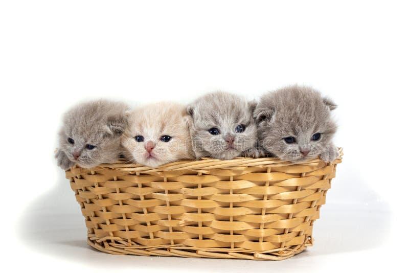 Quatro gatinhos britânicos pequenos sentam-se em uma cesta de vime Isolado no fundo branco foto de stock royalty free