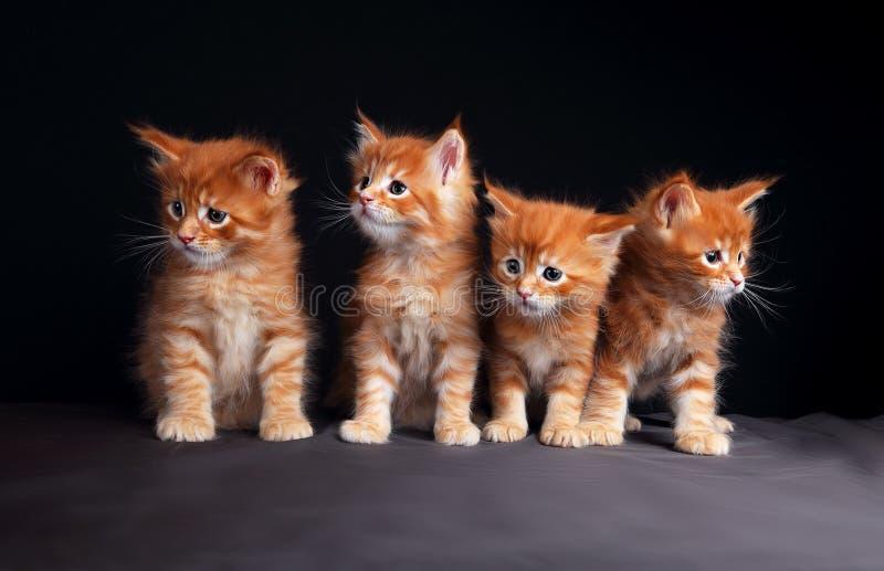 Quatro gatinhos contínuos vermelhos brilhantes adoráveis do racum de maine que sentam-se com b fotos de stock royalty free