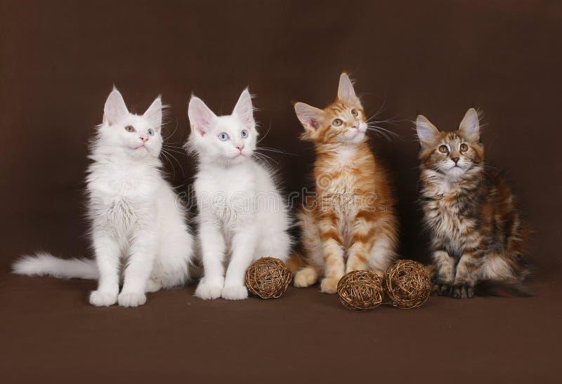 Quatro gatinhos do Coon de Maine foto de stock