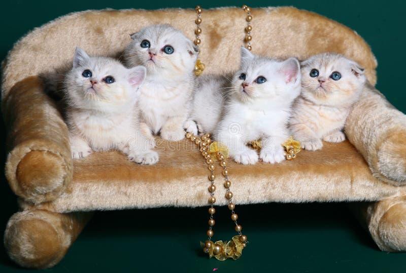 Quatro gatinhos escoceses de Shorthair. fotos de stock