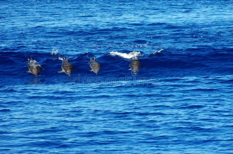 Quatro golfinhos selvagens fotografia de stock