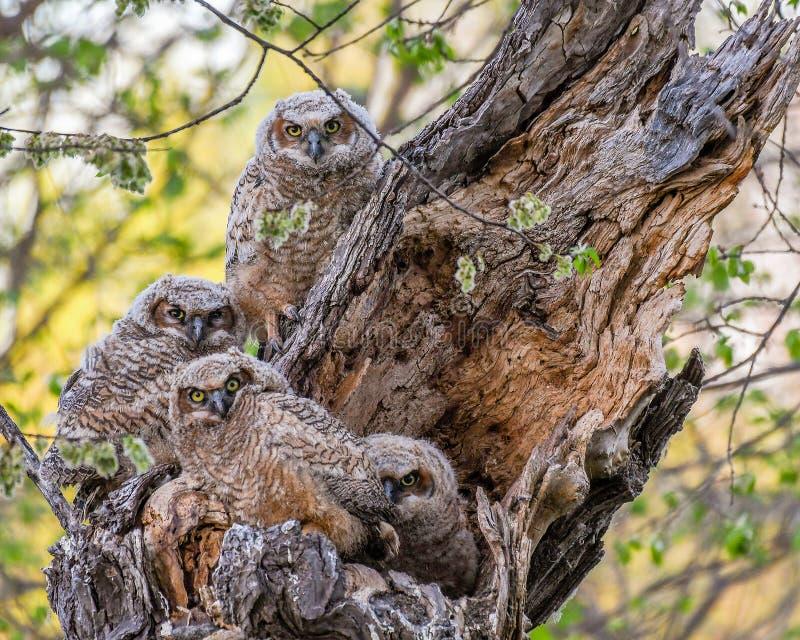 Quatro grandes filhotes de coruja Horned em seu ninho imagem de stock
