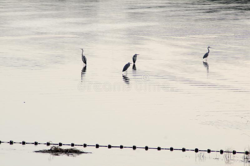 2019103011: Quatro Herões na barragem de Shahe, Pequim, China fotografia de stock