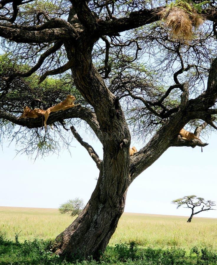 Quatro leões que sentam-se na árvore no parque nacional de Serengeti, Tanzânia imagem de stock