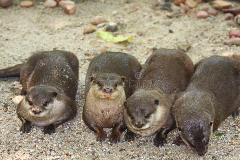 Quatro lontras fotos de stock