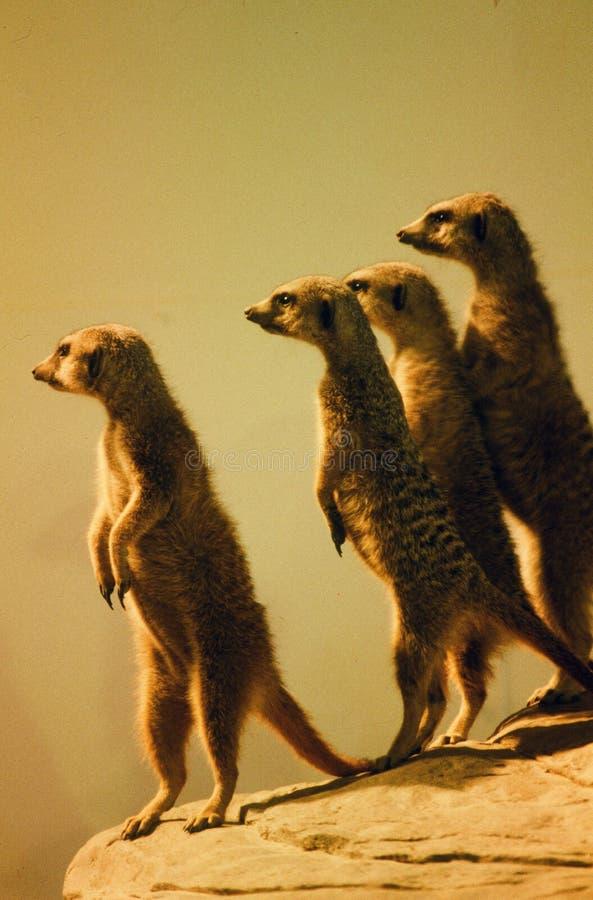 Quatro Meerkats no alerta fotografia de stock
