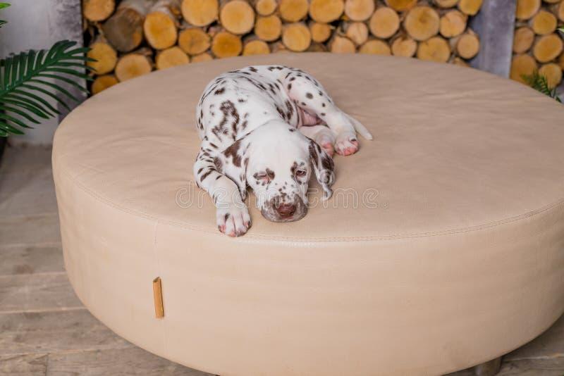 Quatro meses de sono Dalmatian velho Sono pequeno do c?o na casa Cachorrinho bonito que relaxa na cobertura macia foto de stock royalty free