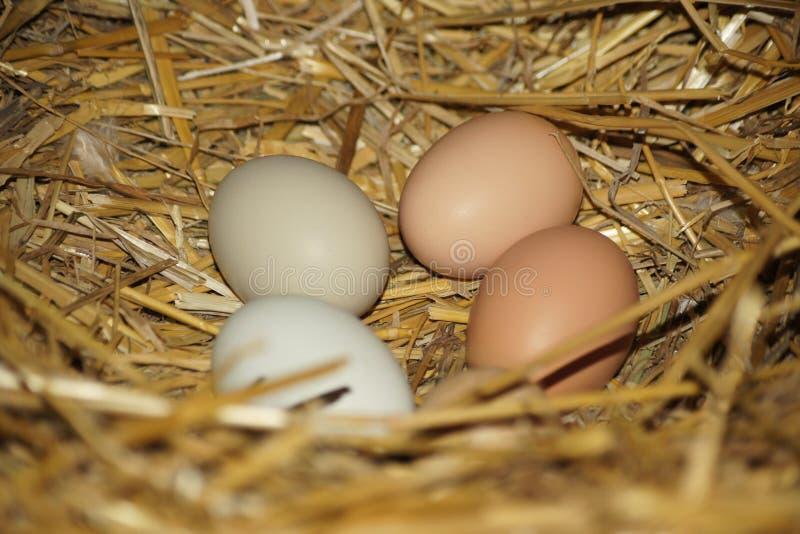 Quatro ovos coloridos misturados da galinha fotografia de stock