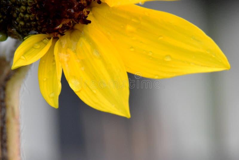 Quatro pétalas amarelas Waterdrops do girassol fotos de stock
