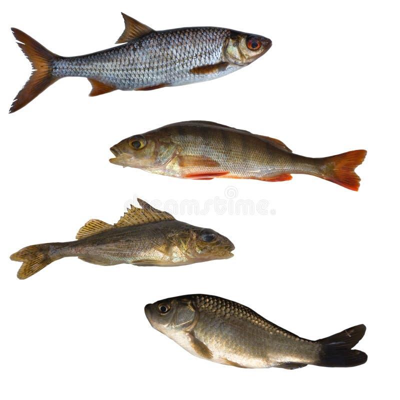 Quatro peixes isolados foto de stock