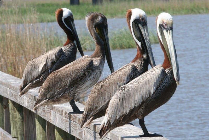 Quatro pelicanos imagens de stock