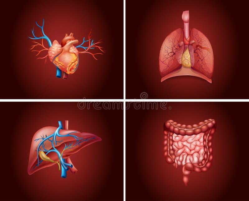 Quatro porções diferentes dos órgãos humanos ilustração do vetor