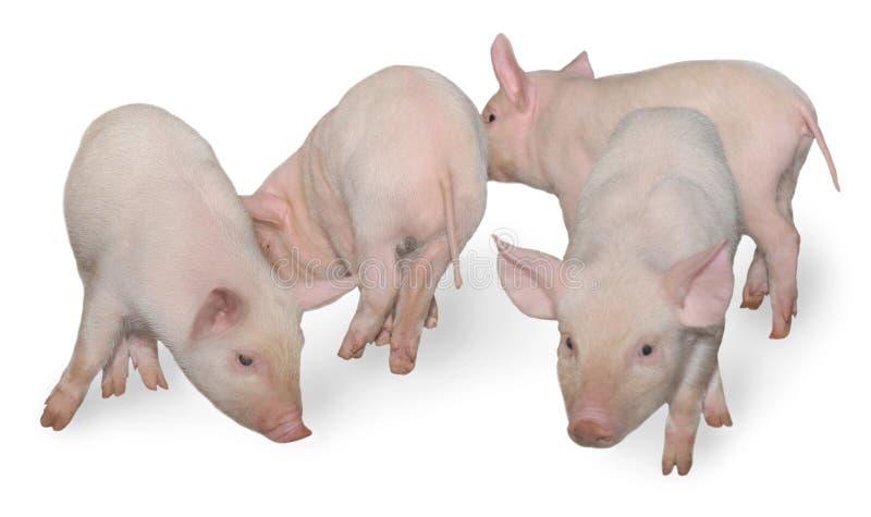 Quatro porcos fotografia de stock royalty free