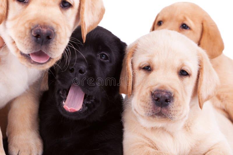 Quatro poucos filhotes de cachorro do retriever de Labrador imagem de stock royalty free
