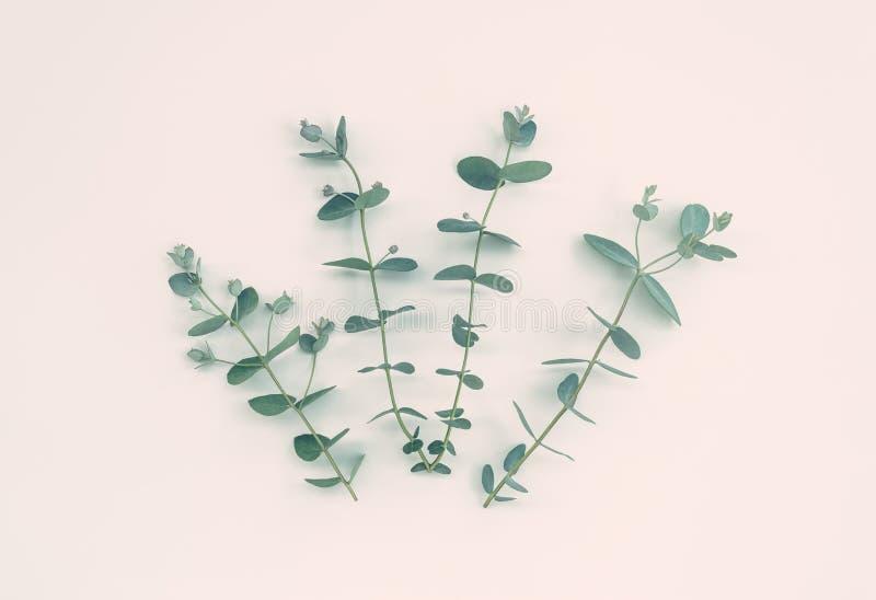 Quatro ramos do eucalipto no fundo pastel fotos de stock